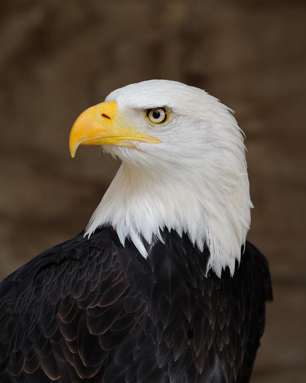Bald_Eagle_Portrait
