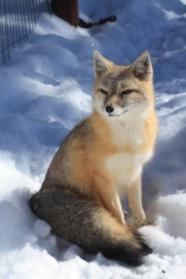 foxex