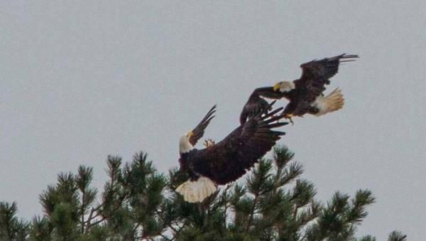 eagle 13