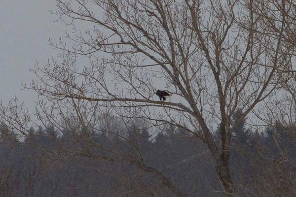 eagle 16