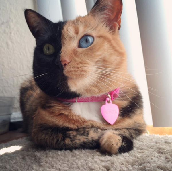 Meet Venus The TwoFaced Cat That Has Stunned The World - Venus two faced cat