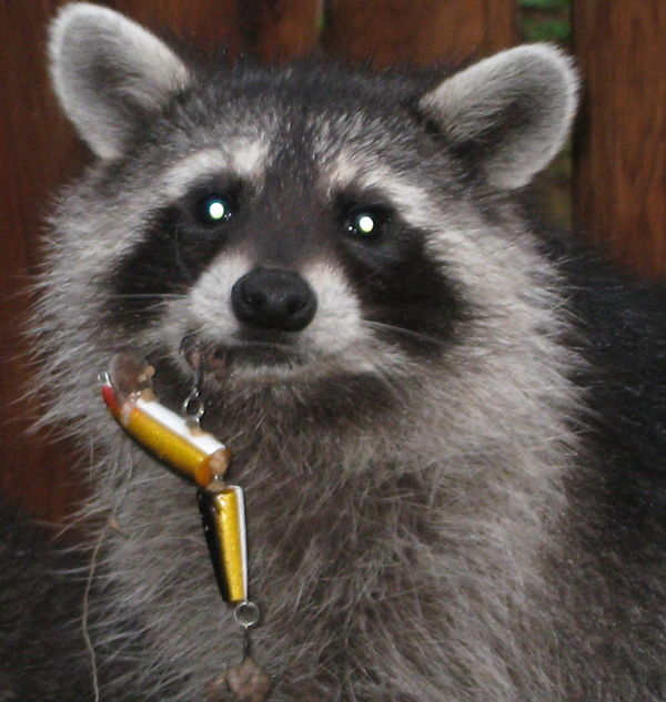 Young-Raccoon-Lure-in-Lip__880