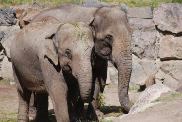 12806004-elefanter