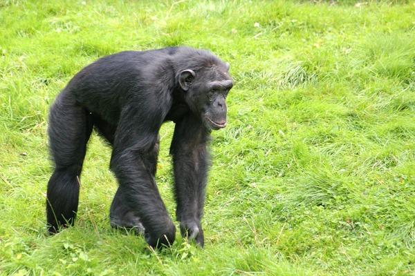 chimpanzee-618379_960_720