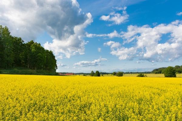 11759789-canola-fields-sweden