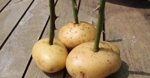 potatis5.2