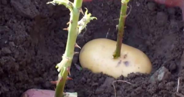 potatis6