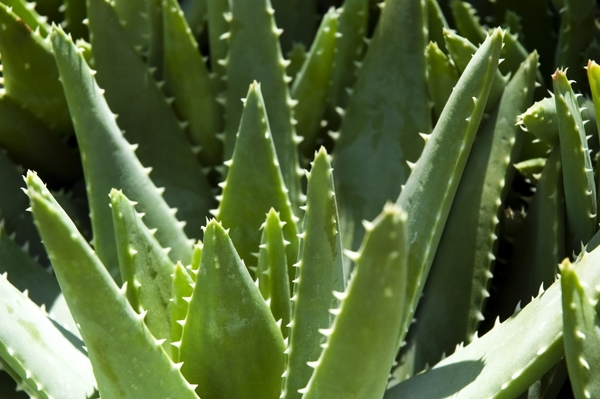 1118162-green-leaves-of-aloe-plant