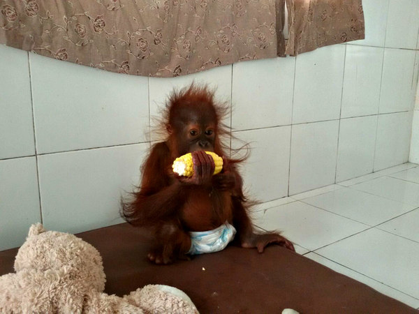 Kejora2 Save the Orangutan BOS