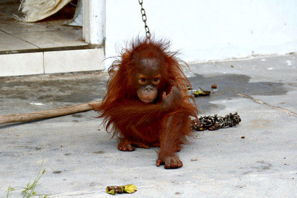 Kejora1 Save the Orangutan BOS