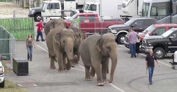 ElefanterFrias