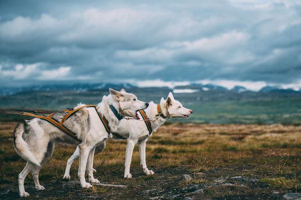 Akiak-the-adventure-dog-4__880