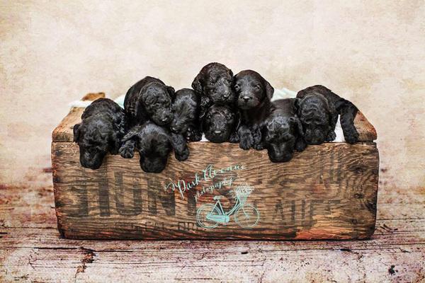 dog-gives-birth-puppies-mother-baby-same-day-kami-klingbeil-4