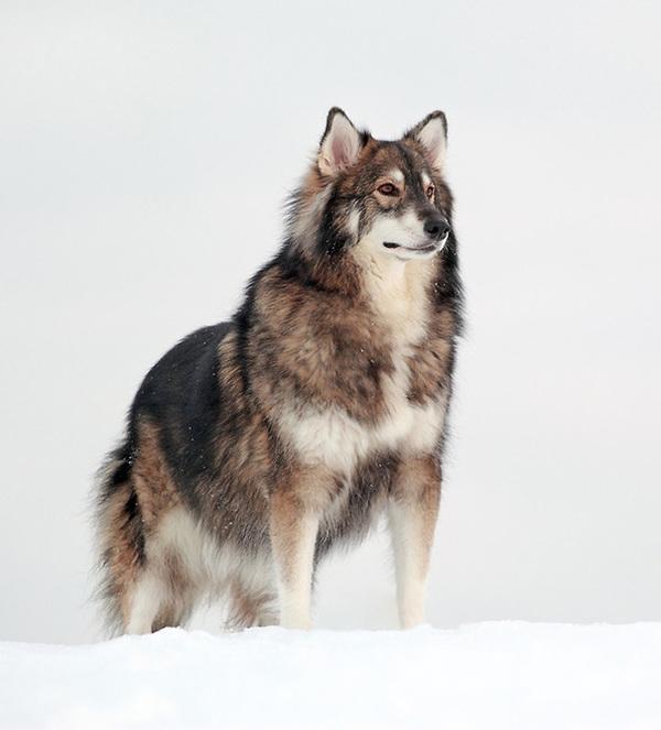 hund_2_husky