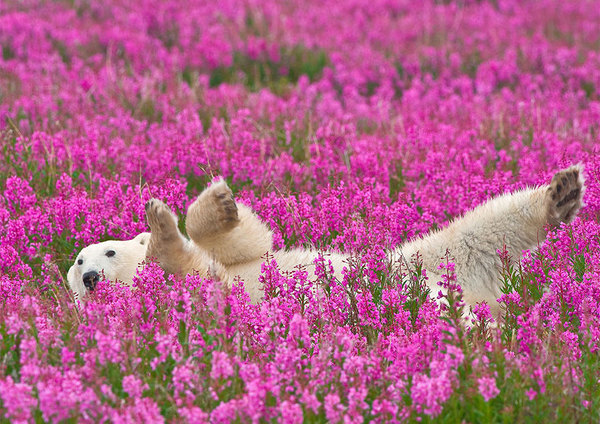 polar-bear-playing-flower-field-dennis-fast-1