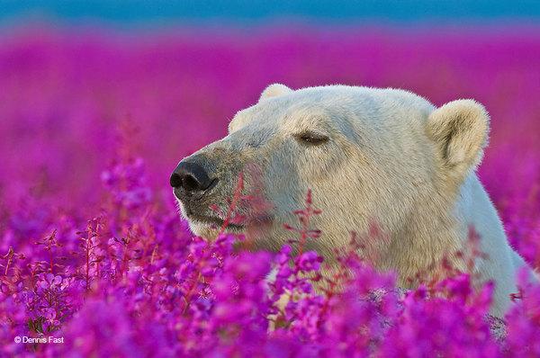 polar-bear-playing-flower-field-dennis-fast-11