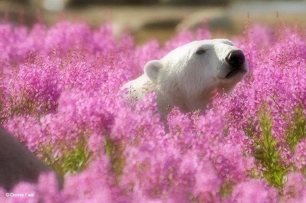 polar-bear-playing-flower-field-dennis-fast-12