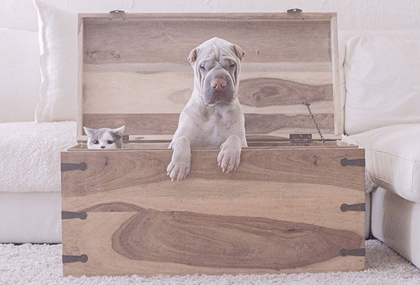 shar-pei-dog-paddington-friend-annie-cat-10