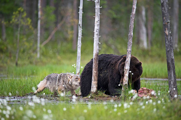 rare-animal-friendship-gray-wolf-brown-bear-lassi-rautiainen-finland-141
