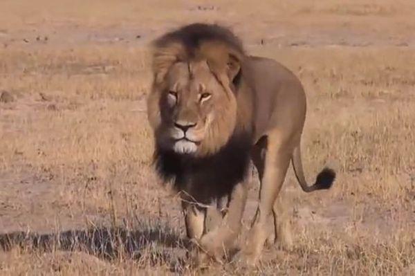 Cecil-the-Lion.jpg