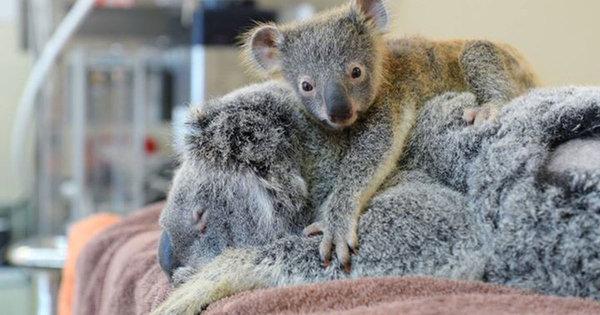 koala_visar