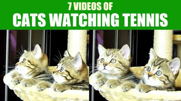 7-videos-cats-watching-tennis-header