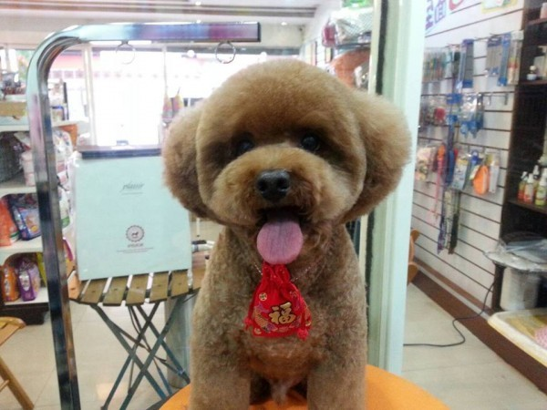 square-round-dog-haircut-taiwan-9