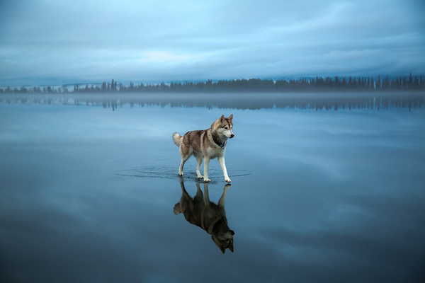 siberian-husky-frozen-lake-dog-photos-fox-grom-15