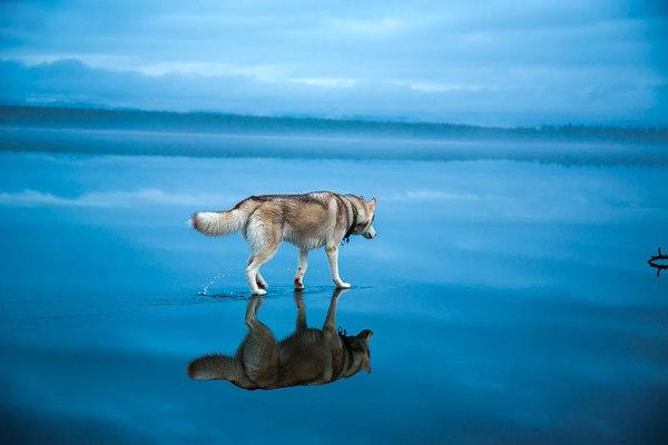 siberian-husky-frozen-lake-dog-photos-fox-grom-3