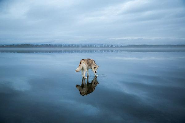 siberian-husky-frozen-lake-dog-photos-fox-grom-4