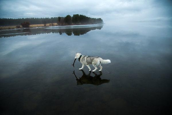 siberian-husky-frozen-lake-dog-photos-fox-grom-5