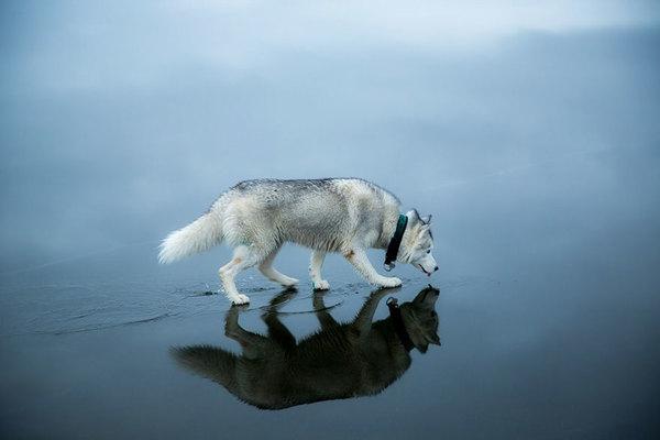siberian-husky-frozen-lake-dog-photos-fox-grom-6