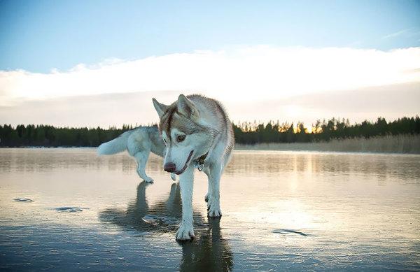 siberian-husky-frozen-lake-dog-photos-fox-grom-9