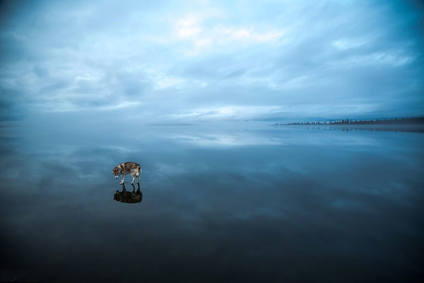 siberian-husky-frozen-lake-dog-photos-fox-grom-2