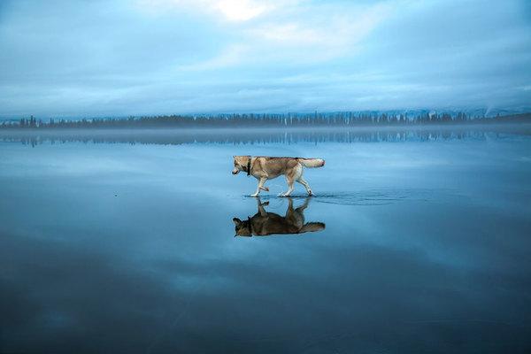 siberian-husky-frozen-lake-dog-photos-fox-grom-13