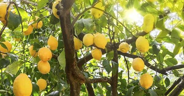 citron4klar