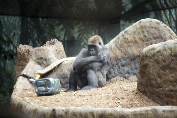 4368698-thinking-ape
