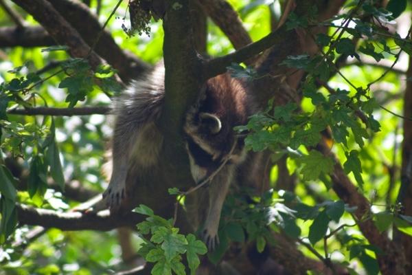 3455335-sleeping-raccoon