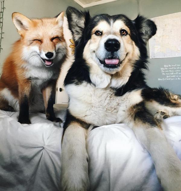 zorro-perro