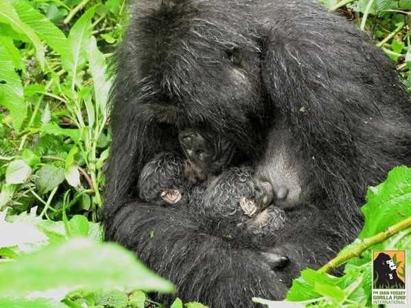 gorilagemelos