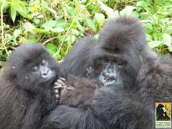 gorila6