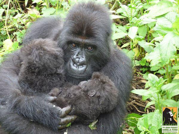 gorila5