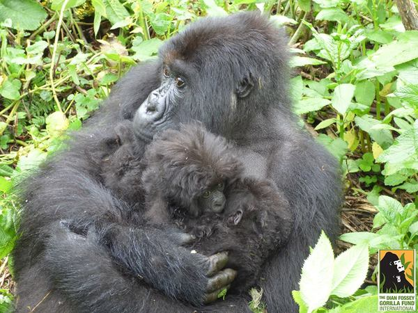 gorila3