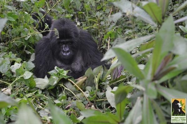 gorilla-twins-1-600x400