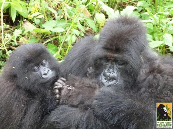 gorilla-twins-5-600x450