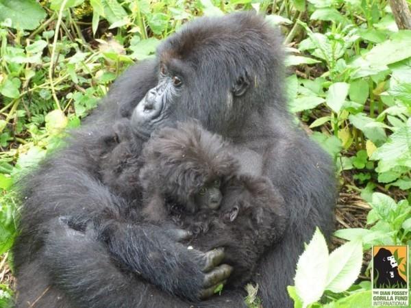 gorilla-twins-2-600x450