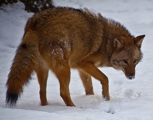 Coyote-face-snow_-_Virginia_-_ForestWander