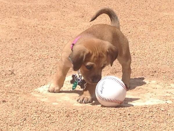 baseball-puppy-3-600x450