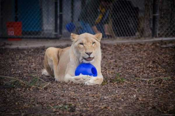 Lions 5