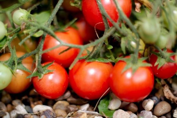 tomato-600x400